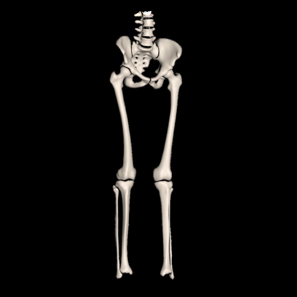 Modélisation 3D - Membres inférieurs
